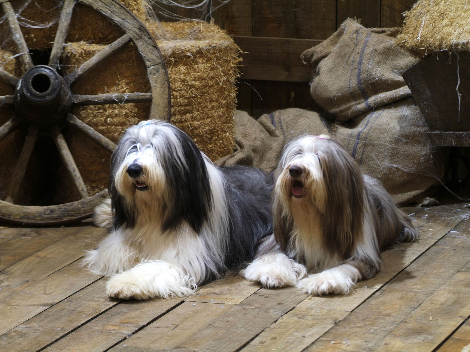 Bearded collie pictures photos
