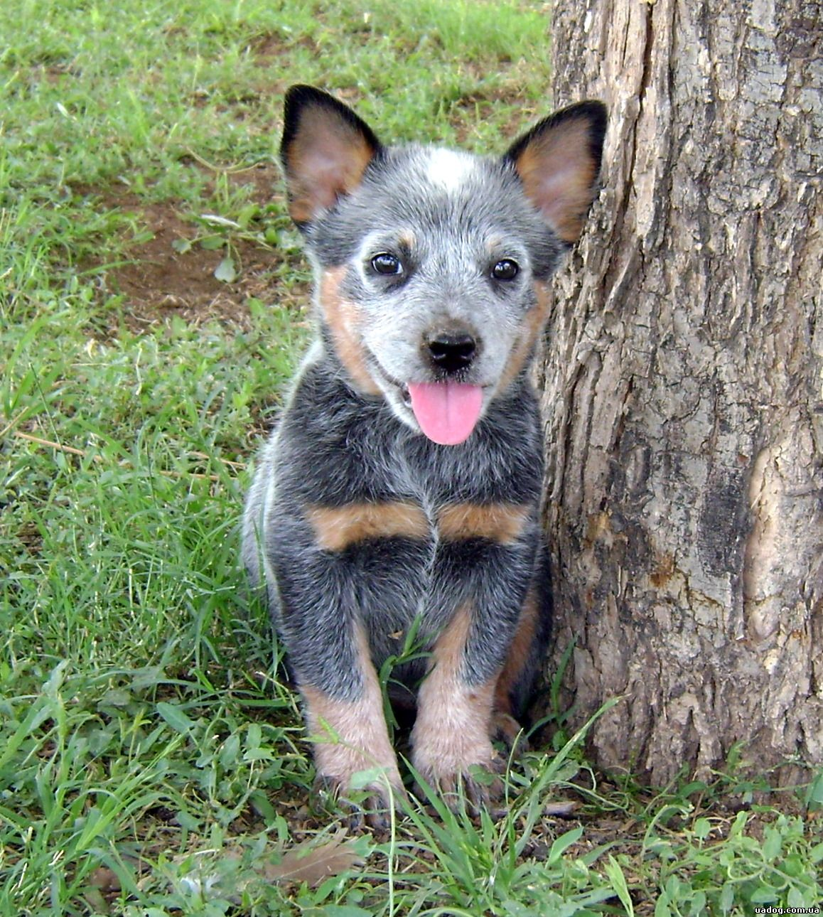 Ranch Dogs for Sale Working Breed Dogs. - Ranch World Ads Blue heeler pictures photos