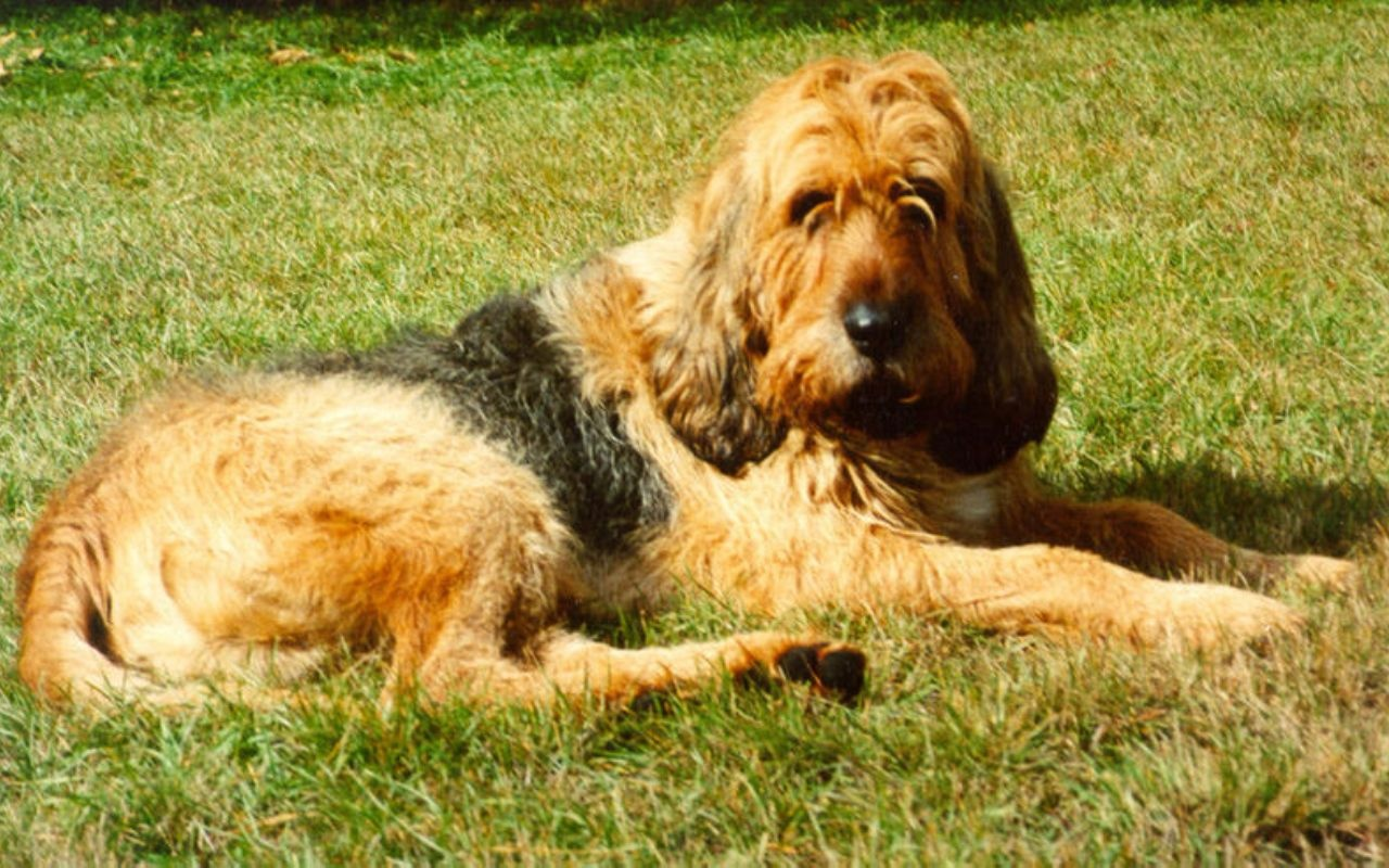 resting-otterhound-dog-photo