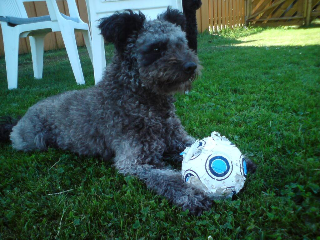 pumi-dog-with-a-ball-photo