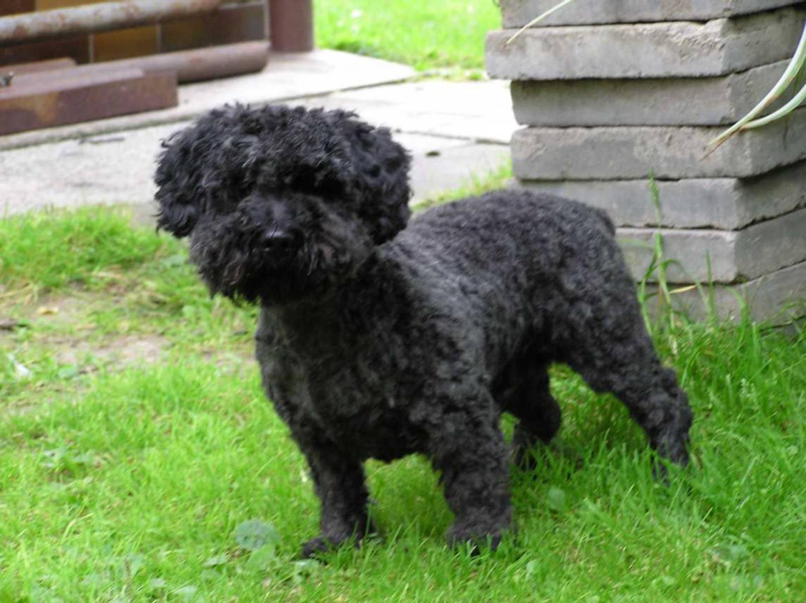 black-pumi-dog-wallpaper