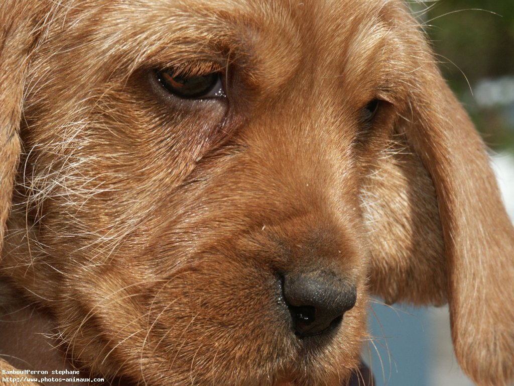 griffon-fauve-de-bretagne-dog-face-wallpaper