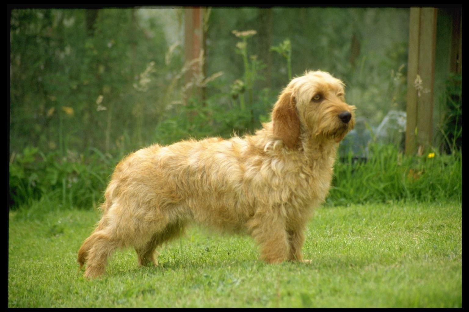 griffon-fauve-de-bretagne-dog-on-the-grass-photo