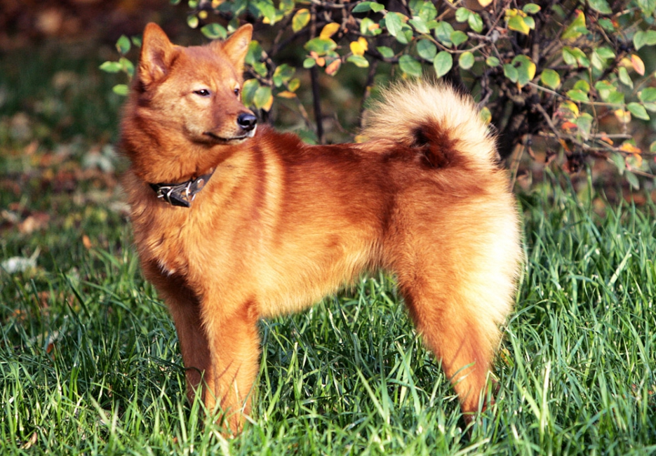 b_0_650_00___images_dogs_finnish-spitz-2