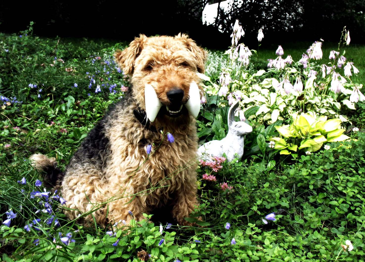 lovely-welsh-terrier-dog-with-toy-photo