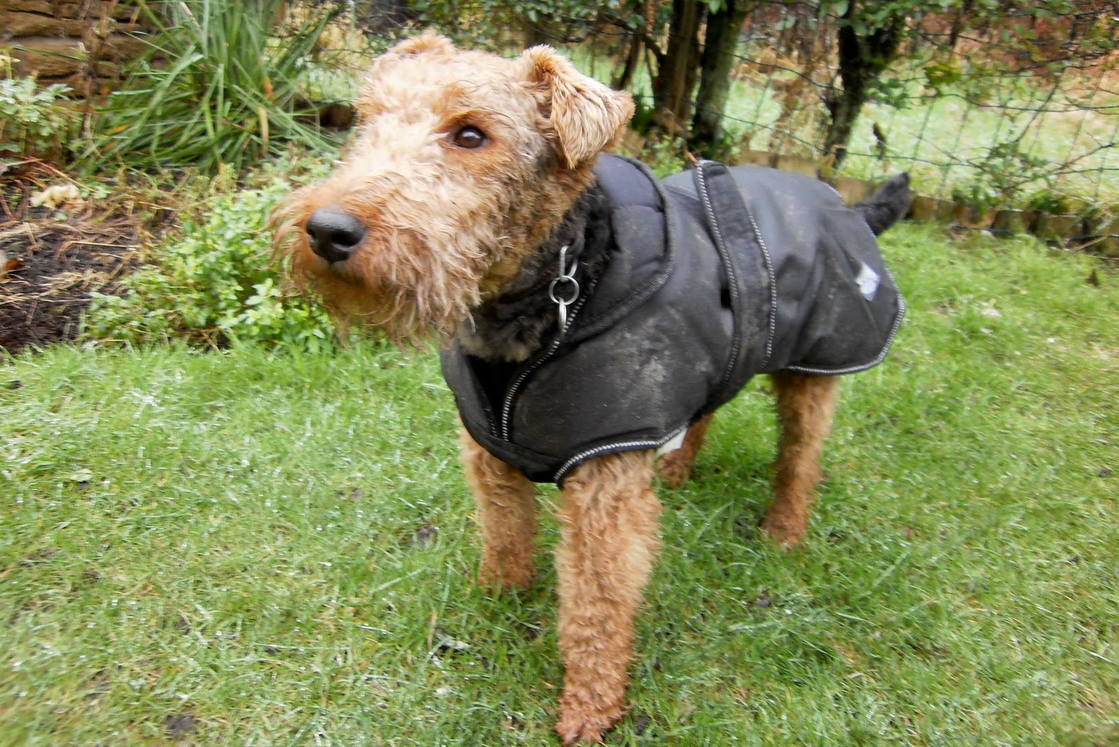 funny-welsh-terrier-wallpaper