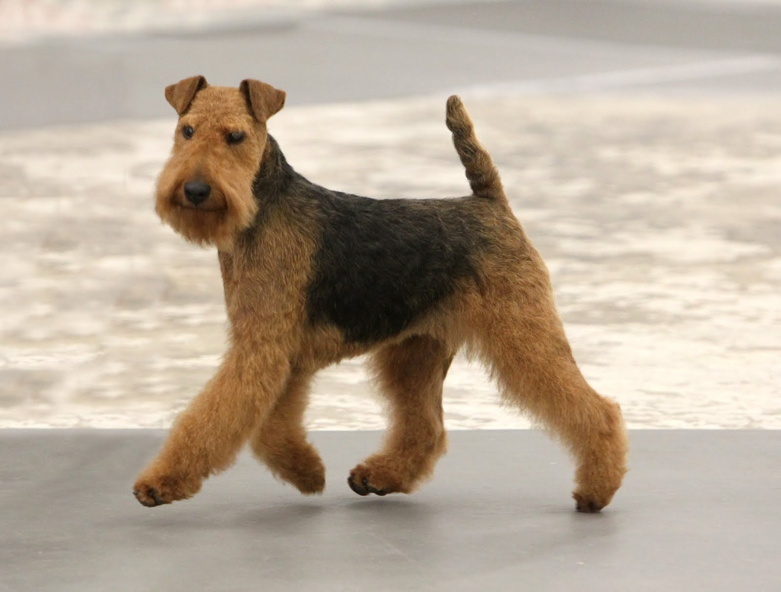 welsh-terrier-dog-near-the-water-photo