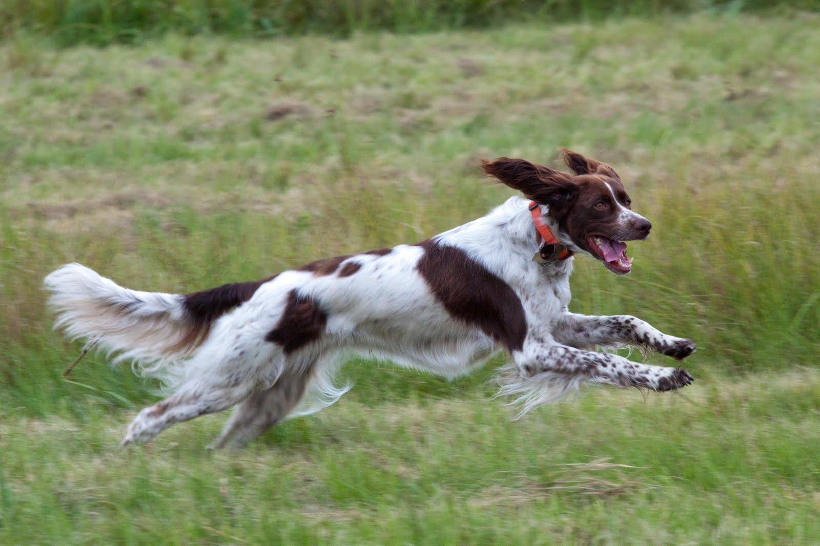 running-french-spaniel-dog-photo